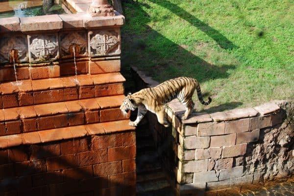 tiger 600x401 - 11 Secrets of Animal Kingdom